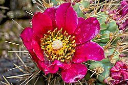 Cactus_Flower_16_May_21.jpg