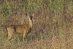 Deer_7_May_2021.jpg