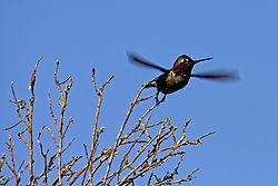 Hummingbird_in_Flight_ish_8_May_2021.jpg