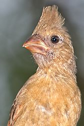 Immature_Cardinal_23_May_2020.jpg
