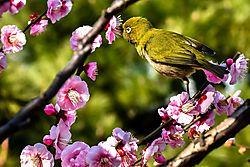 Immature_Mejiro_with_Ume_25_Feb_17_Low_Res.jpg