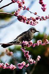 Kyoto_Palace_Ume_Bulbul2_27_Mar_2019_Low_Res.jpg