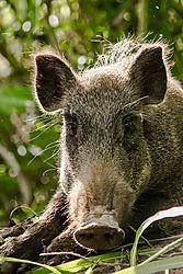 Pig_portrait_16_Jul_17_Low_Res.jpg