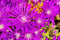 Purple_Lampranthus_16_Mar_21.jpg