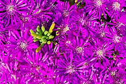 Purple_Lampranthus_Seiko_140_27_Mar_2021.jpg