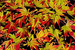 Red_Tip_Maples3.JPG