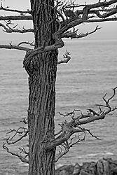 Sea_Cypress_2_Jul_2021.jpg