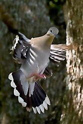 White_Winged_Dove2_10_June_2020.jpg