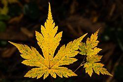 Yellow_Maple.JPG