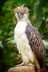 VNM_2573_Philippine_Eagle010_sm.jpg