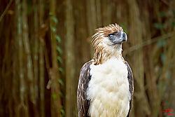 VNM_2588_Philippine_Eagle012_sm.jpg