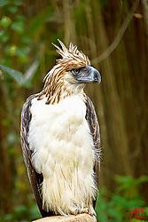 VNM_2622_Philippine_Eagle015_sm.jpg