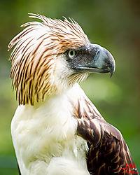 VNM_2647_Philippine_Eagle017_sm.jpg