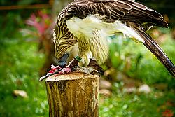 VNM_2909_Philippine_Eagle7_sm.jpg