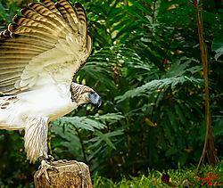 VNM_3163_Philippine_Eagle019_sm.jpg