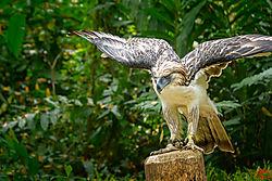 VNM_3167_Philippine_Eagle018_sm.jpg