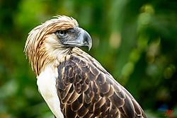 VNM_3188_Philippine_Eagle_cr_sm.jpg