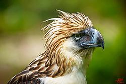 VNM_3485_Philippine_Eagle2_sm.jpg