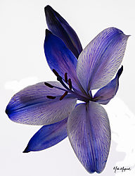Blue_Lily.jpg