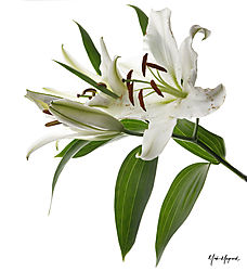 White_Lily1.jpg