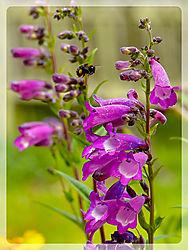 Bumblebee_in_flight.jpg