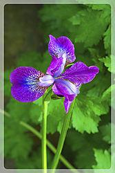 Iris15.jpg