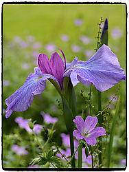 Iris23.jpg