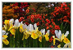 Irises_and_Geum_frame.jpg
