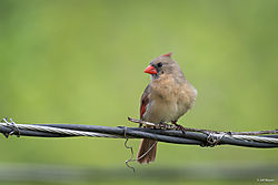 Cardinalonwire.jpg
