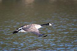 Goosetakeoff-6.jpg