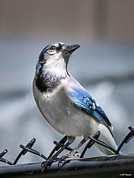 bluejay-3.jpg