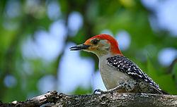 woodpecker-2.jpg