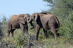 Fighting_Elephant_bulls-A.jpg