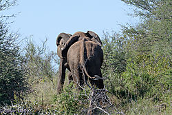 Fighting_Elephant_bulls-B.jpg
