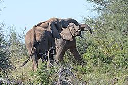 Fighting_Elephant_bulls-C.jpg
