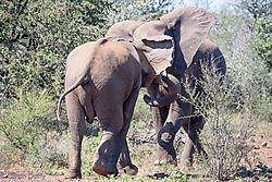 Fighting_Elephant_bulls-D.jpg