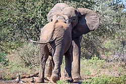 Fighting_Elephant_bulls-E.jpg