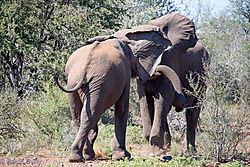 Fighting_Elephant_bulls-F.jpg