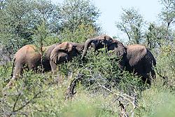 Fighting_Elephant_bulls-G.jpg
