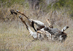 Young_Zebra_shaking_off_red_billed_Oxpecker-2.jpg