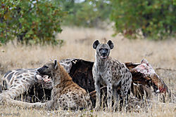 Hyenas_hesistantly_feeding_1.jpg