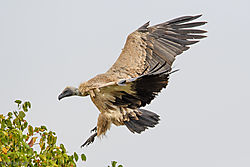 Vulture_arriving_at_kill.jpg
