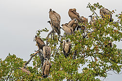 Vultures_waiting_for_Hyenas_to_move_off-2.jpg