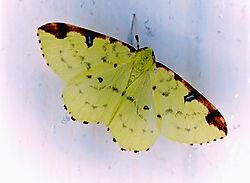 Brimstone_Moth.jpg