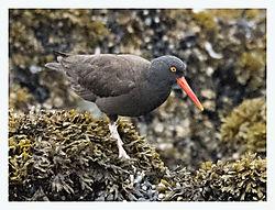 DSC_7586_-_Black_Oystercatcher_Gull_Island.jpg