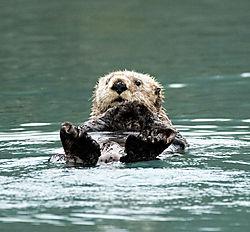 DSC_7699_-_Sea_Otter.jpg