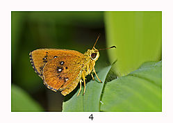 4_Oriental_conjoined_Swift_Nature1.jpg