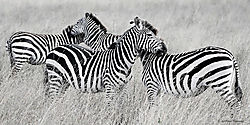 Zebras1-1.jpg