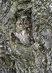 Owl_in_Tree_Lweb_v1_DSC8990.jpg