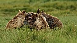 Bear_Diner_Time.jpg